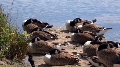 Sleeping Geese 1