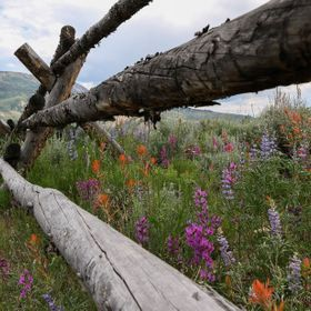 Wildflowers bursting with color after a very rainy spring in the Colorado Rocky Mountains.