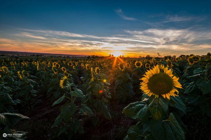 sunflower_fields_new-1 by paulgphoto91
