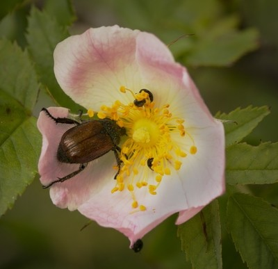 dog rose with visitors