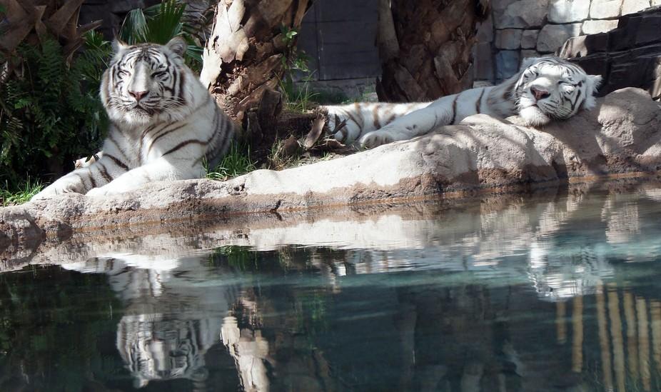 White tigers.