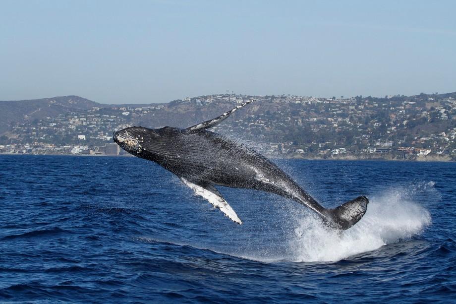 Taken with Dana Wharf Whale Watching, Dana Point, CA off of Laguna Beach. This juvenile humpback ...