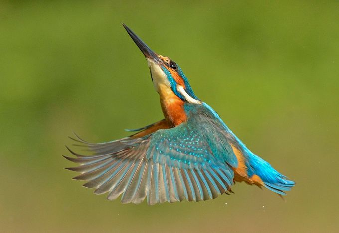 Kingfisher  by keithbannister - The Beauty Of Nature Photo Contest