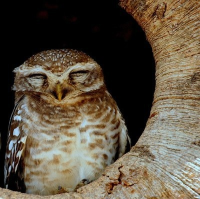 Spotted-Owl@Kanha