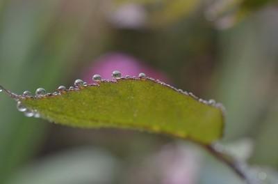 Dew on Rose Leaves Munnar 2013 2