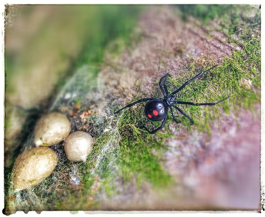 Capture of a Black Widow Spider and her clutch of eggs.