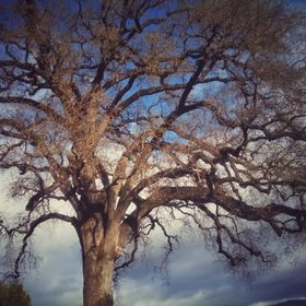 My favorite Valley Oak Tree