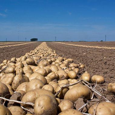 Field of Potatoes in Belgium