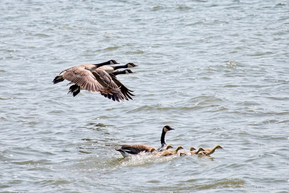 Adult geese flying guard over goslings as they leave shore