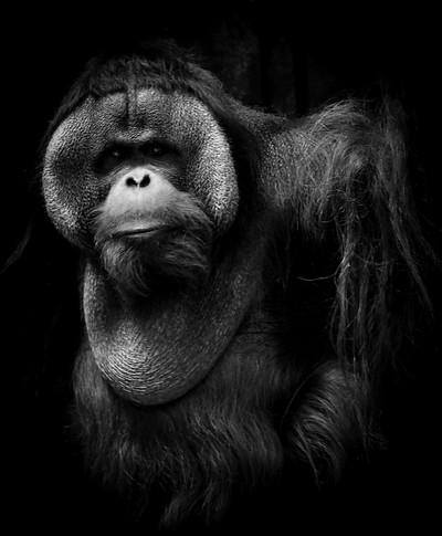 Primate 2-5130841