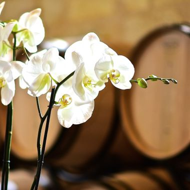Orchids adorning the barrel room at a blind tasting of Right Bank wines in St Emilion, catching some high window light