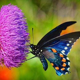 Swallowtail on Summer Thistle - Texas Hill Country