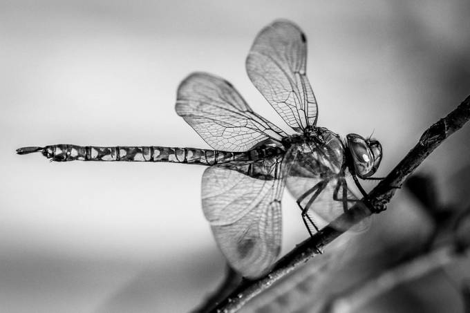 Dragonfly by AspenArrangements - Black And White Compositions Photo Contest
