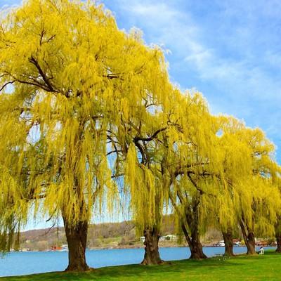 Weeping Willows by Cayuga Lake, New York