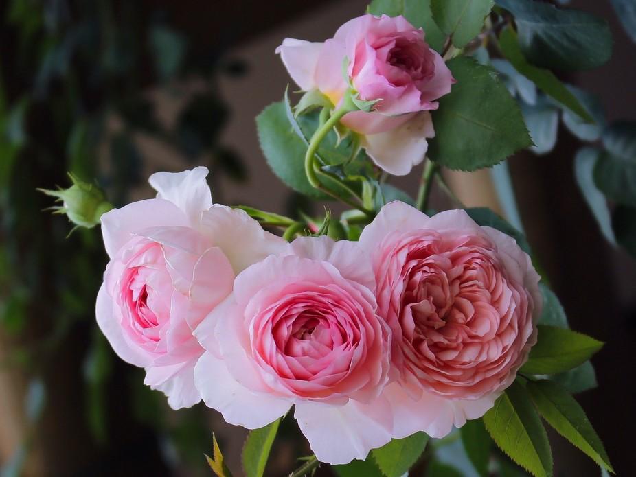 Roses name William Morris