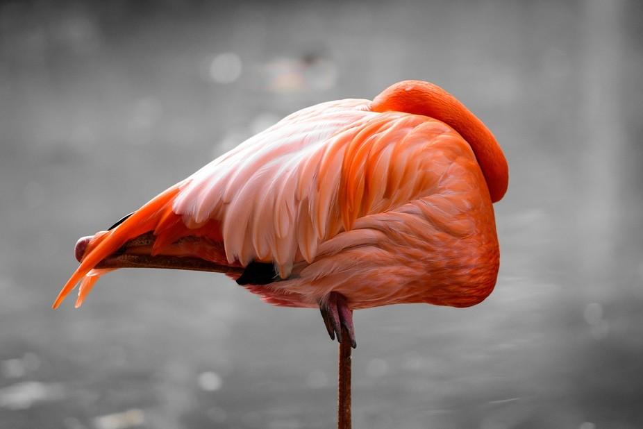 Sleeping Flamingo