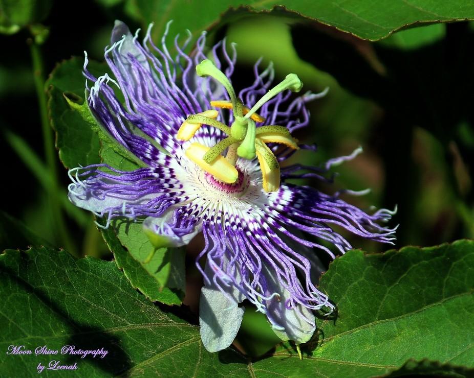 May Pop - Purple Passion Flower ... 6-25-15