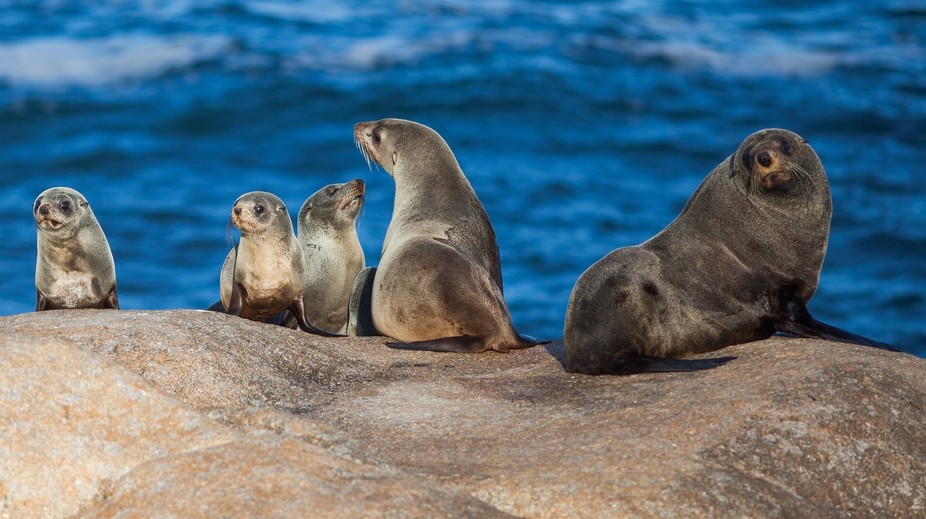 Fur Seals getting some sun on the rocks at Point Hicks,Victoria,Australia