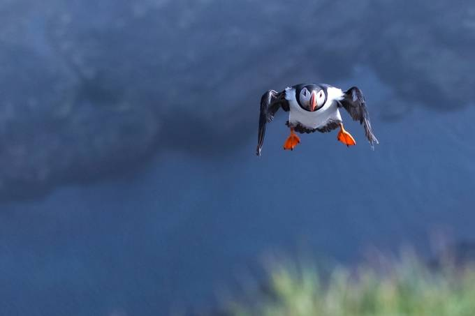 Super Puffin by Lpepz - Clever Angles Photo Contest