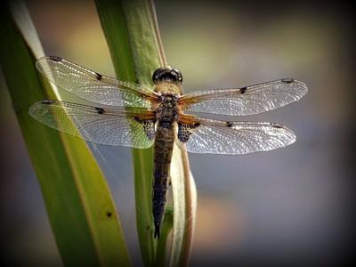 4 spot dragon fly