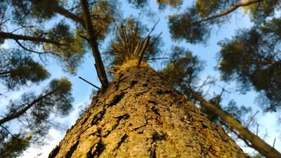 View up a tree, Kielder Water