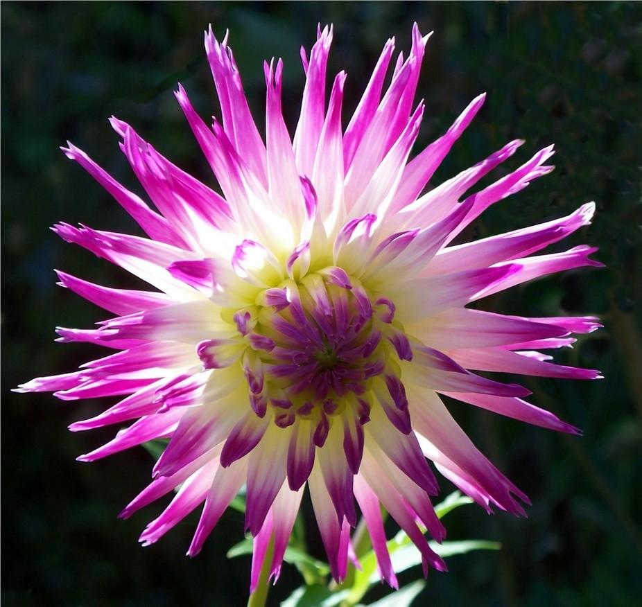 Arnold's Garden - Dahlia - 10/7/08