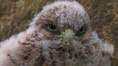 wildlife young bird of prey - Kestrel chick 2