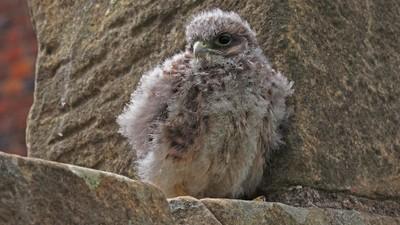 wildlife young bird of prey - Kestrel chick 1