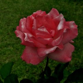 A Rose for you ... (1)