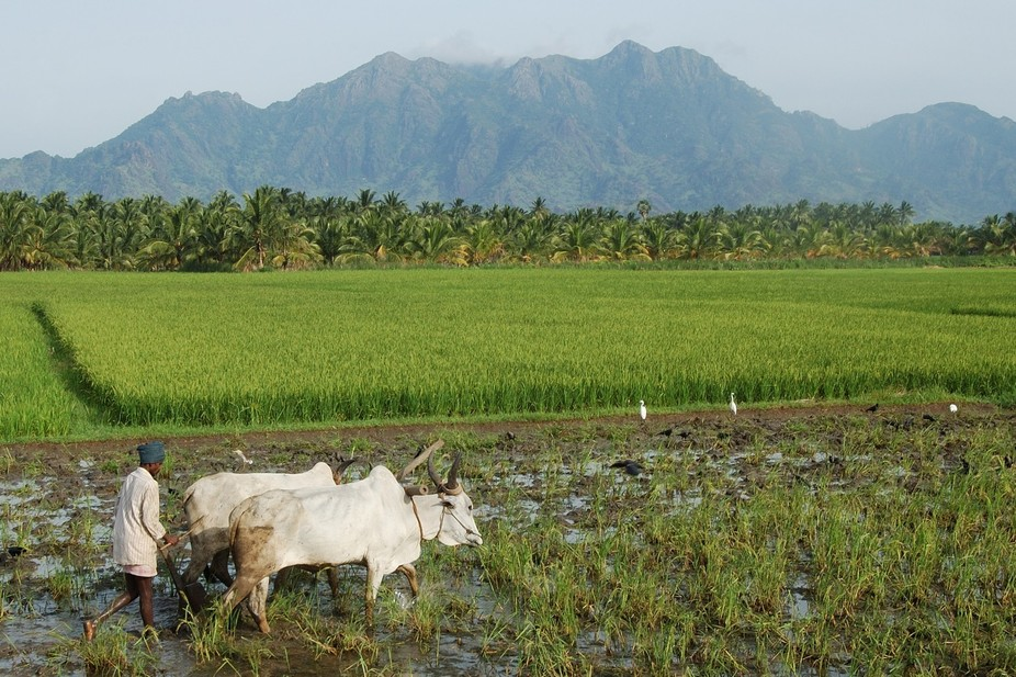 Farmer at work from Tamil Nadu State of South India.