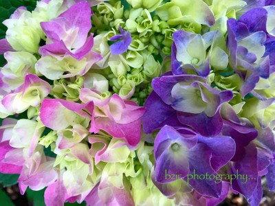 Hydrangea...and all its Glory!-July 3rd., 2015-Photos by BZJr!