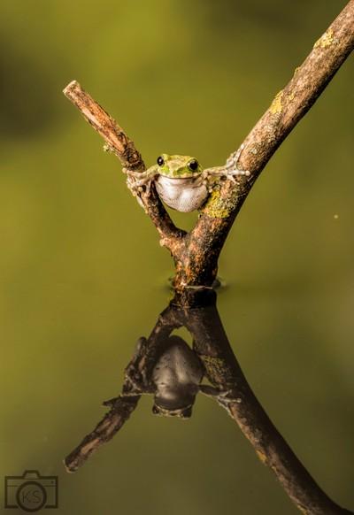 Peacock frog
