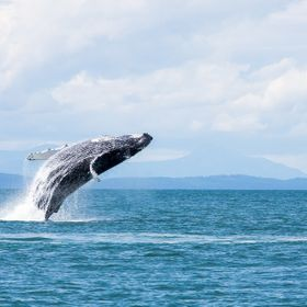 This is my first photo from my trip through Biritsh Columbia and Alberta. We started in Vancouver, and saw this humpback whale breach on a whale ...