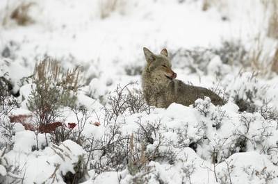 Coyote scavenging Ram