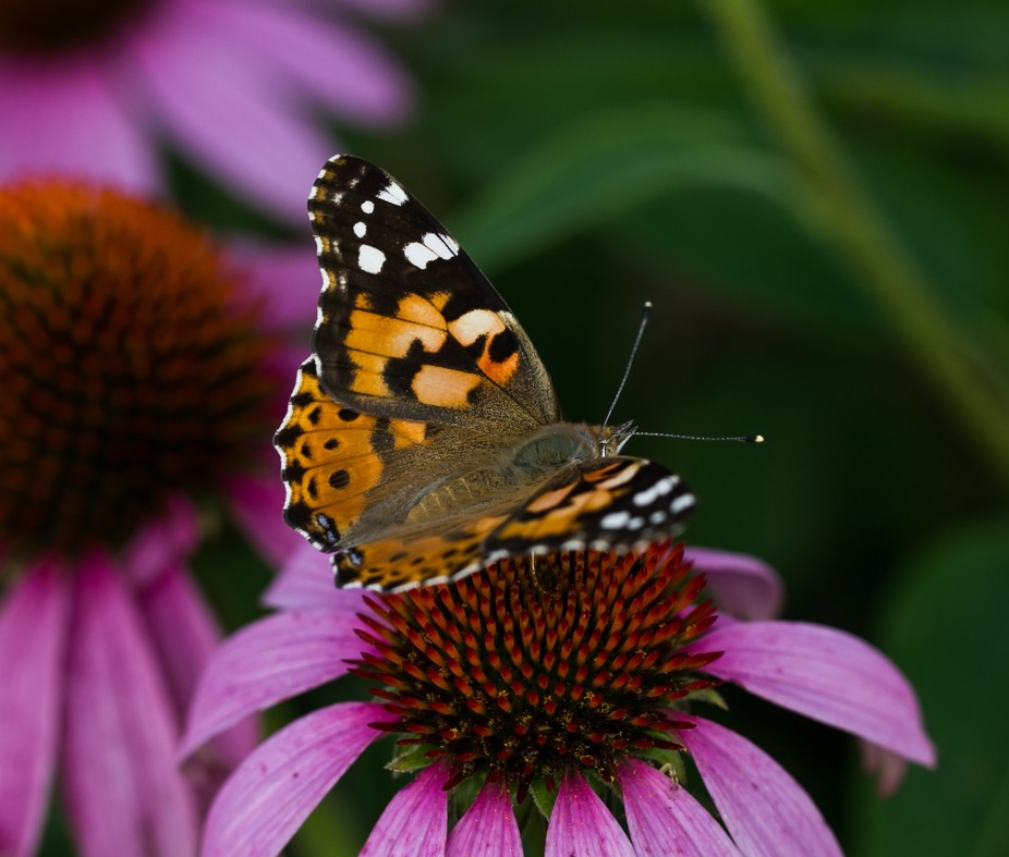 Butterflies and Flowers #3