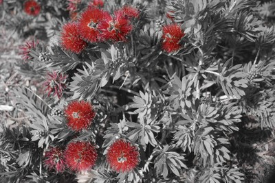 touch of color bottle brush plant