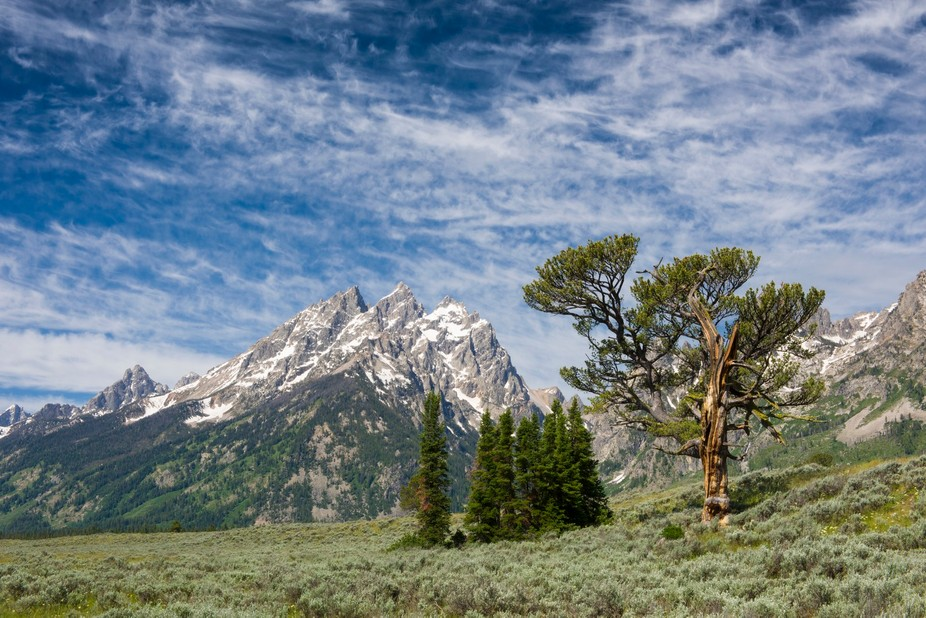 This is a limber pine.  Closely related to whitebark pines, these trees live a very long time.  T...