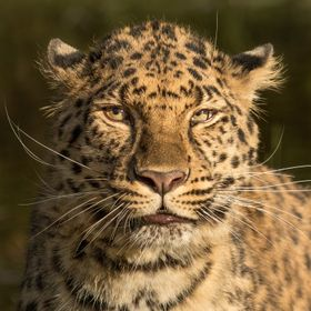Amur Leopards are extremely endangered: only 40-80 are left in the wild. They are absolutely beautiful leopards :)