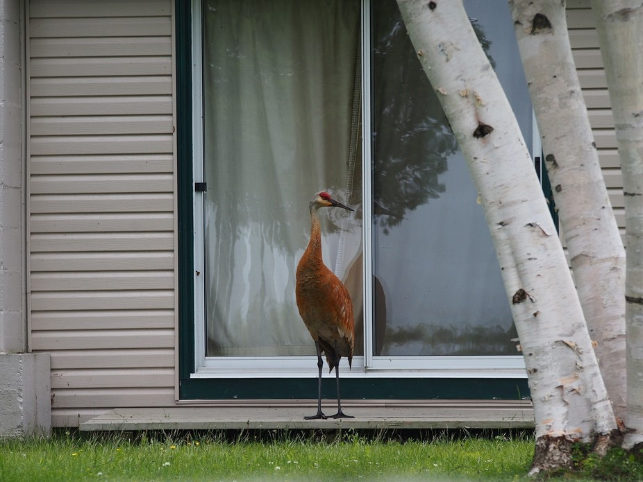 This is a Sandhill Crane.  For some reason, he likes this cottage property and I found him walkin...