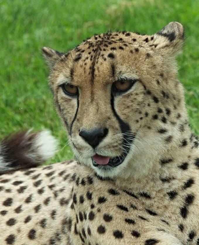 Cheetah 2 copy