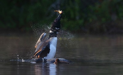 Pisces Rising - Common loon with fish