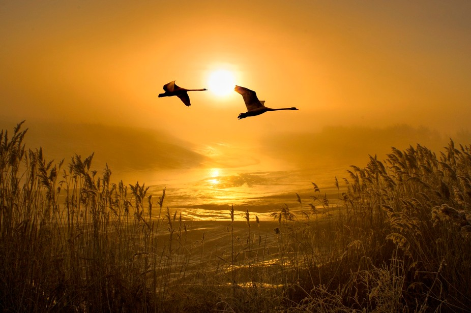 Two mute swans flying  over the reed beds on the river at sunrise on a foggy morning