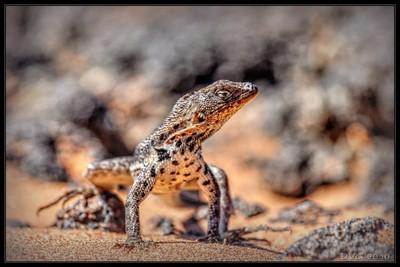 Lizard from Galapagos