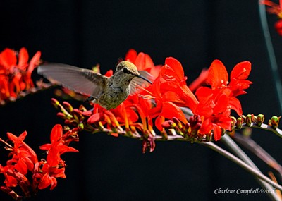 Hummingbird and Red Flowers VB28