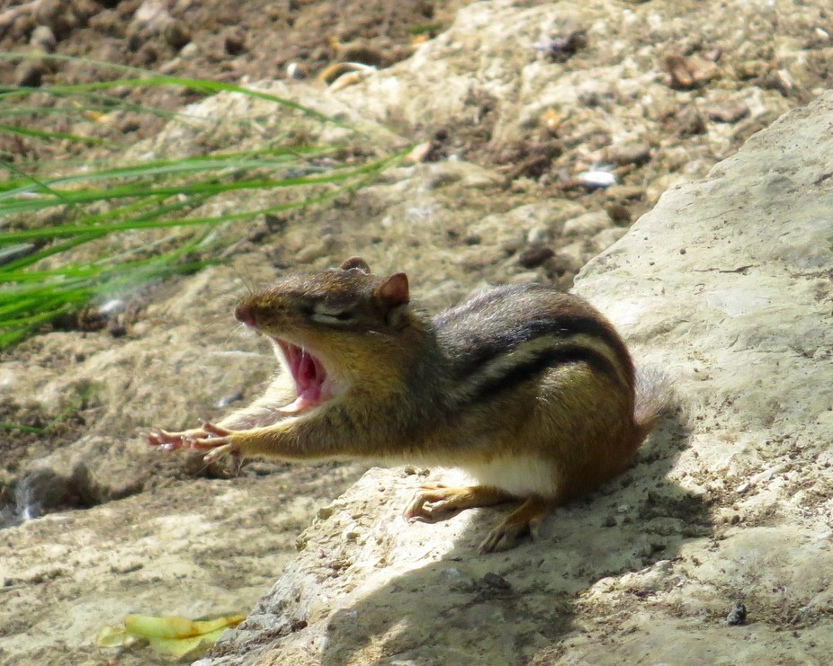 I was watching a cute little chipmunk slowly begin his morning and when he stretched I snapped hi...
