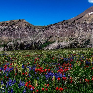 Wildflowers carpet an open meadow along the Teton Crest Trail in Wyoming's Grand Teton National Park.