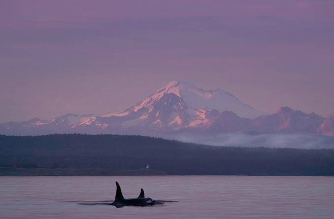 orca by manuelmartel - Animals And Water Photo Contest
