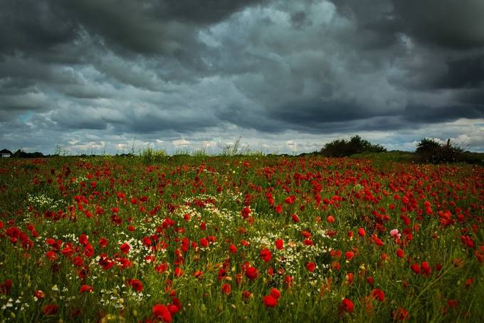 Poppy field by vbgilliankennett05800411 - Meadows Photo Contest