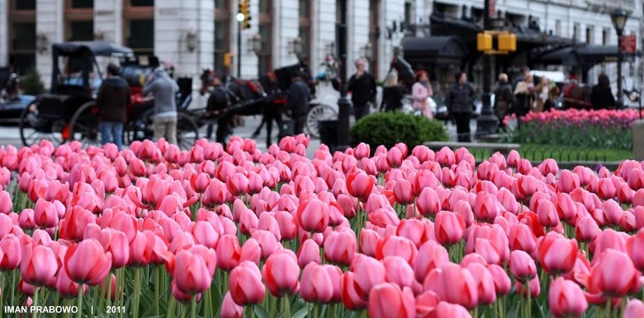 Tulip @central Park