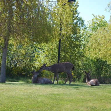 Three deer relaxing & grooming at Morning Star Golf  In French Creek May 2012